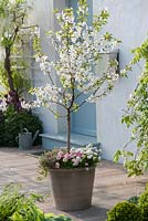 Morello Cherry - Prunus cerasus 'Saphir' in pot on patio