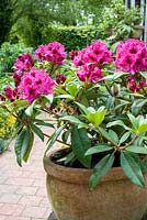 Rhododendron 'Marie Fortie' in container