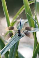 Calopteryx splendens - Banded Demoiselle covered in dew