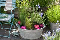 Zinc tub with Iris variegata, Typha minima, Lythrum - marsh plants as a mini pond