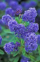 Ceanothus Cynthia Postan, Californian Lilac. Shrub, May. Portrait of bright violet blue flowers with tiny yellow stamen.