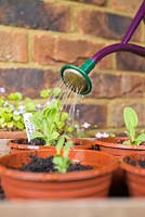 Watering the potted on root cuttings of Papaver orientale.