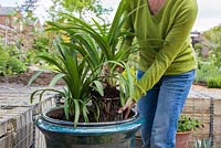 Planting Agapanthus in large glazed French pot