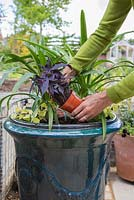 Removing Ipomoea 'Black Tone' from pot