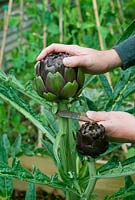 Cutting head of purple globe artichoke