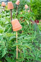 Outdoor Tomato plants, 'Moneymaker' supported with cane and garden twine, cane topped with terracotta pot to prevent injury.