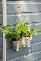 Variety of lettuces hanging in alluminium cans on the side of a shed