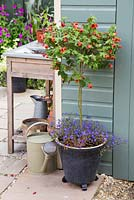 Container with standard Abutilon and Lobelia erinus 'Half Moon'