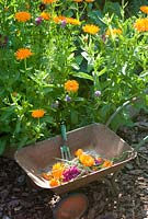 Vegetable bed with childs wheelbarrow and fork, Calendula 'Porcupine' and Cosmos 'Double Click Cranberries'
