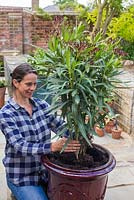 Planting Nerium oleander in the centre of the pot