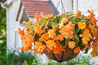 Hanging basket of Begonia tuberhybrida 'Apricot Shades' F1 Illumination series