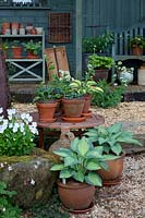 Groups of pots with hostas and violas