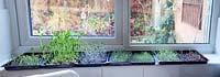 Microgreens on your windowsill: garland chrysanthemum, peas, cabbage, mustard, water cress, garland chrysanthemum and chard.