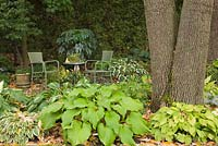 Hosta 'Little Wonder', 'Templar Gold' and 'Brichwood Parly's Gold' - plaintain lily plants next to large tree trunks in a back garden in autumn. Green wicker chairs and a table in the background.