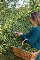 Woman foraging Sloe berries from a hedgerow.