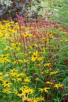 Perennial border combination of Rudbeckia 'Goldsturm', Persicaria amplexicaulis and Cortaderia