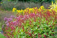 Perennial prairie-style border combination with Persicaria amplexicaulis, Helenium and Eupatorium purpureum.