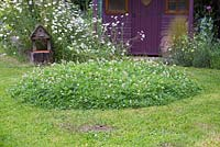 Creating a Clover mound - Circular mound of clover left behind after mowing. This ensures insects and bees come back to your garden to visit the flowering Clover.