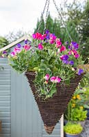 Hanging basket of Lathyrus odoratus 'Cupid Mix'