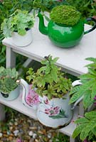 Plants including herbs, sempervivum and Alchemilla mollis in vintage enamel containers on wooden steps.