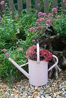 Heads of Hydrangea macrophylla in pink watering can in autumn