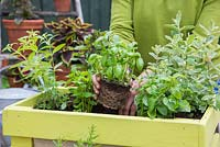 Planting Basil in container.