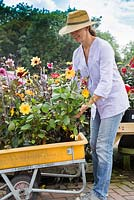 Woman at a garden centre placing a selection of Dahlias in her trolley
