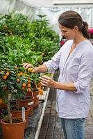 A woman inspecting fruit of x Citrofortunella microcarpa, at a garden centre