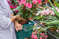 Woman placing Impatiens hawkeri in shopping basket, at a garden centre
