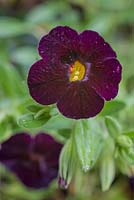 Calibrachoa 'Black Cherry' Can Can series.