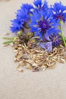 Flower, seed heads and seeds of Cornflower