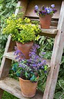 Floral display of Alchemilla mollis, Parsley flowers, Campanula rotundifolia, Nepeta and Cerinthe major 'Purpurascens' on a wooden ladder