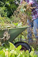 Woman clearing an allotment. Removing spent Peas from patch