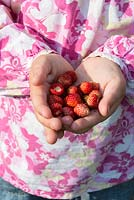 A child's hands holding wild strawberries