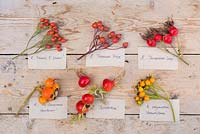 Collection of Rose hips from various Roses with labels. Rosa 'Francis E. Lester', Rosa 'Treasure Trove', Rosa 'Shropshire Lass', Rosa 'The Generous Gardener', Rosa 'Scabrosa' and Rosa polyantha 'Grandiflora'.