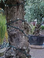 Olive trees decorated with Christmas lights at RHS Wisley - October