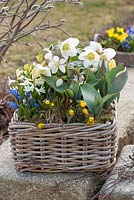 Basket planted with Helleborus orientalis, Tulipa, Hyacinthus, Eranthis and Scilla