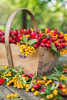 Wooden trug filled with Rosa - Rose hips and Sorbus berries with foliage