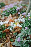 Cyclamen hederifolium growing at the base of a beech tree. October, Autumn.