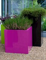 Modern pink, black and green containers with Erica ssp, Muehlenbeckia complexa