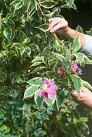 Cutting stems of Weigela florida 'Variegata' leaves for flower arrangement