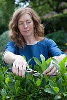 Lady cutting bay leaves - Laurus nobilis
