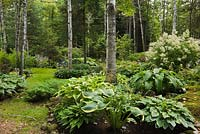 Woodland with hostas including 'Rain Dawn' and betula - birch trees in summer, white persicaria polymorpha - giant fleece flowers in the background