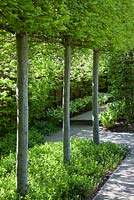 Pleached Carpinus betulus, underplanted with Vinca minor f. alba 'Gertrude Jekyll' in Spring. Pleached Hornbeam.