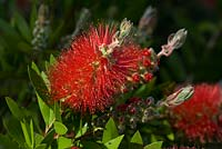 Callistemon 'Splendens' - Bottle Brush