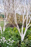 Betula underplanted with Euphorbia, Aquilegia and Helleborus - Single Track Mind, RHS Malvern Spring Show 2013