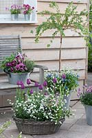 Spring asket container with tulipa 'Negrita', myosotis, ribes uvs-crispa stems under planted in zinc container with viola wittrockiana, thymus, salvia and rosmarinus
