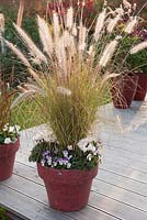 Pennisetum 'Cassian' with Viola cornuta and Cyclamen