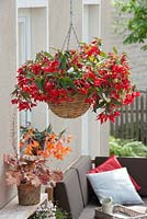 Hanging basket with Begonia boliviensis 'Red', Pot with Heuchera Little Cuties 'Blondie'