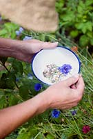 Picking cornflower seedheads from garden